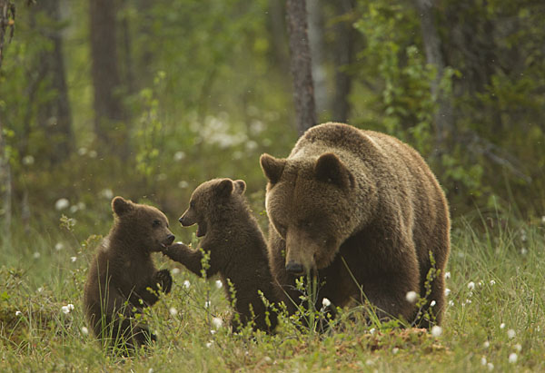 Brown-bear-mother-and-cubs-20-Paul-Hobson